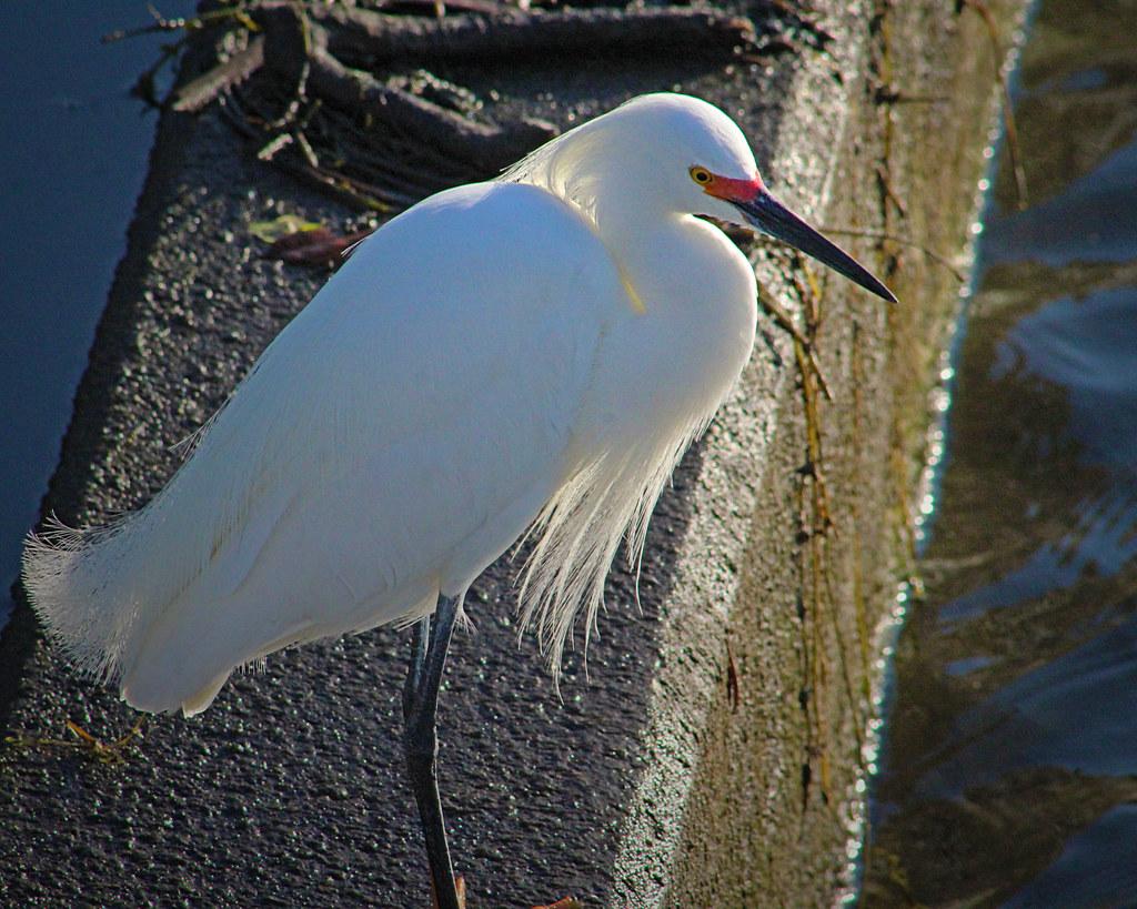 2021.03.17 Sweetwater Wetlands Snowy Egret 2