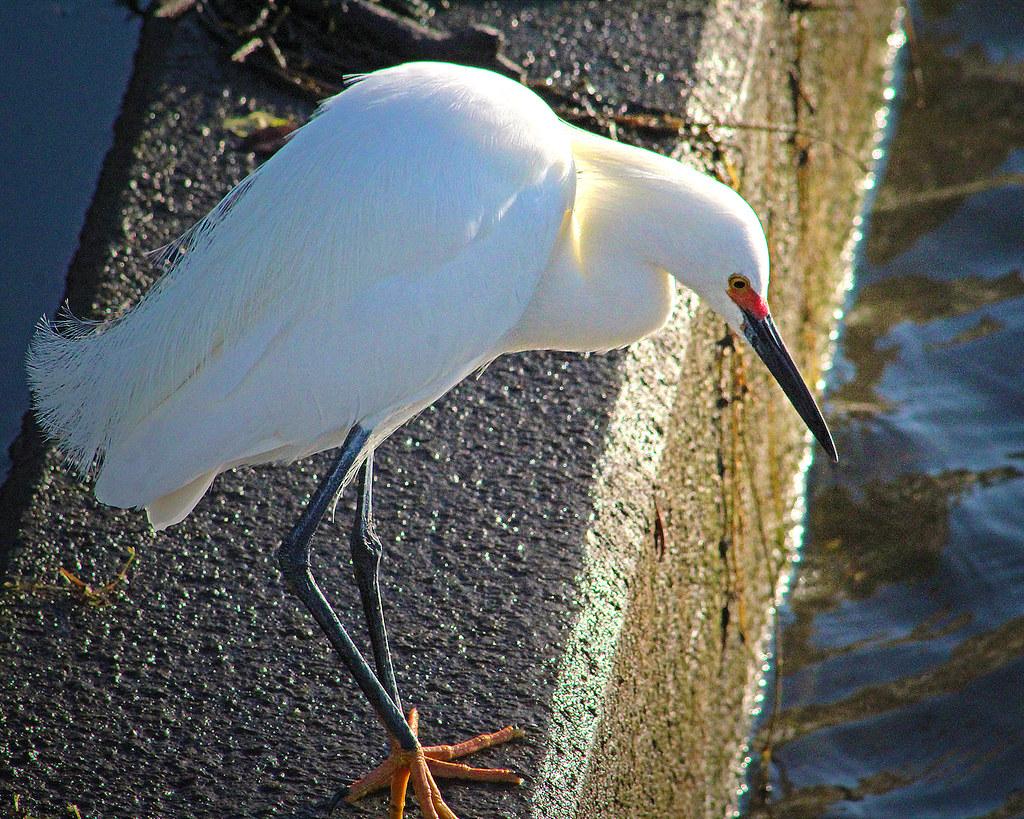 2021.03.17 Sweetwater Wetlands Snowy Egret 1