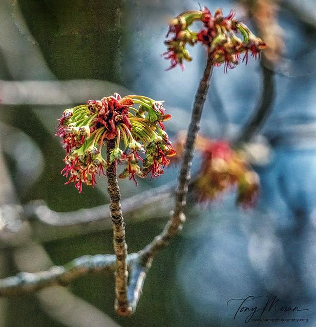 Blossoms on the bough (Ohio Buckeye)