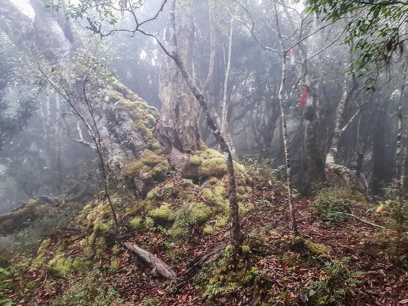 加奈鹿山主稜線杜鵑林 (4)