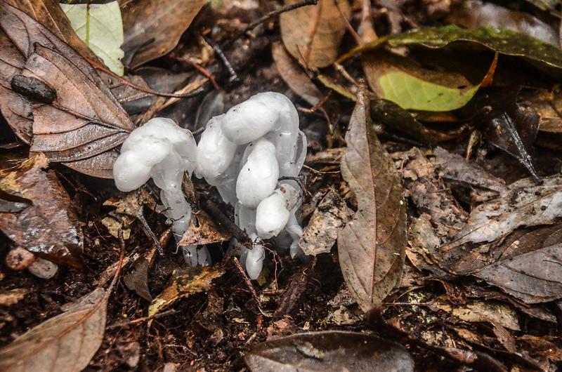 水晶蘭 (4)