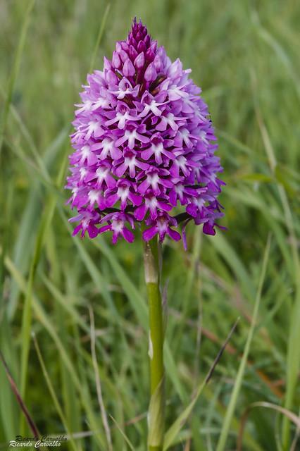 Orquídea-piramidal (Anacamptis pyramidalis)