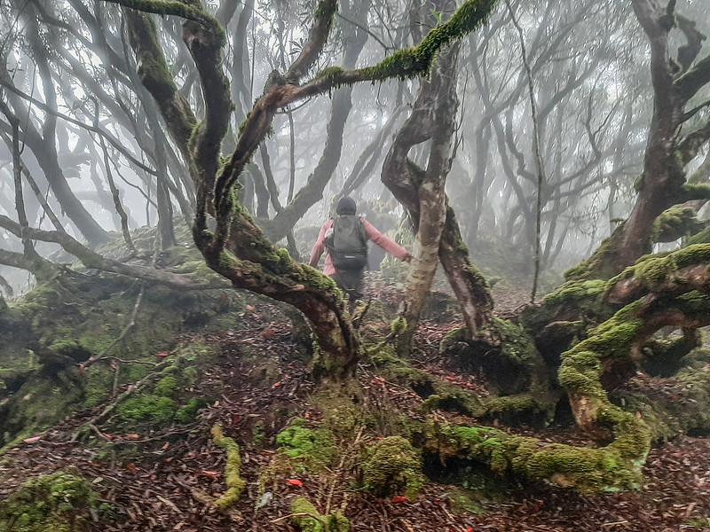加奈鹿山主稜線杜鵑林 (3)