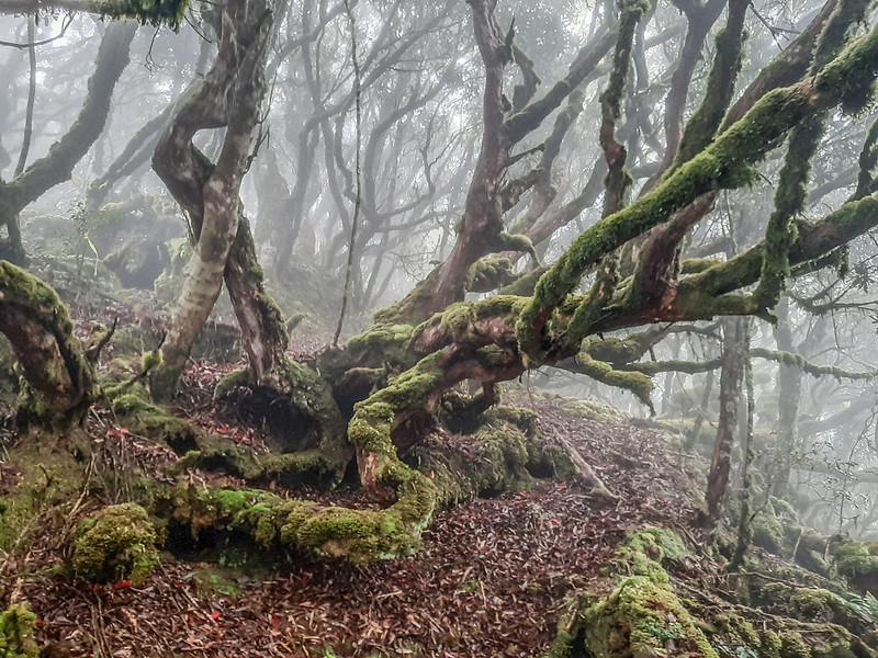 加奈鹿山主稜線杜鵑林 (2)