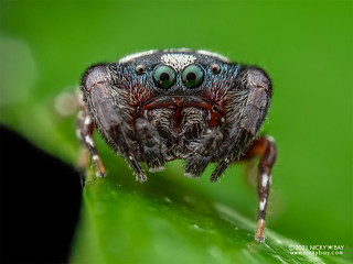 Jumping spider (Rhene sp.) - P3286912