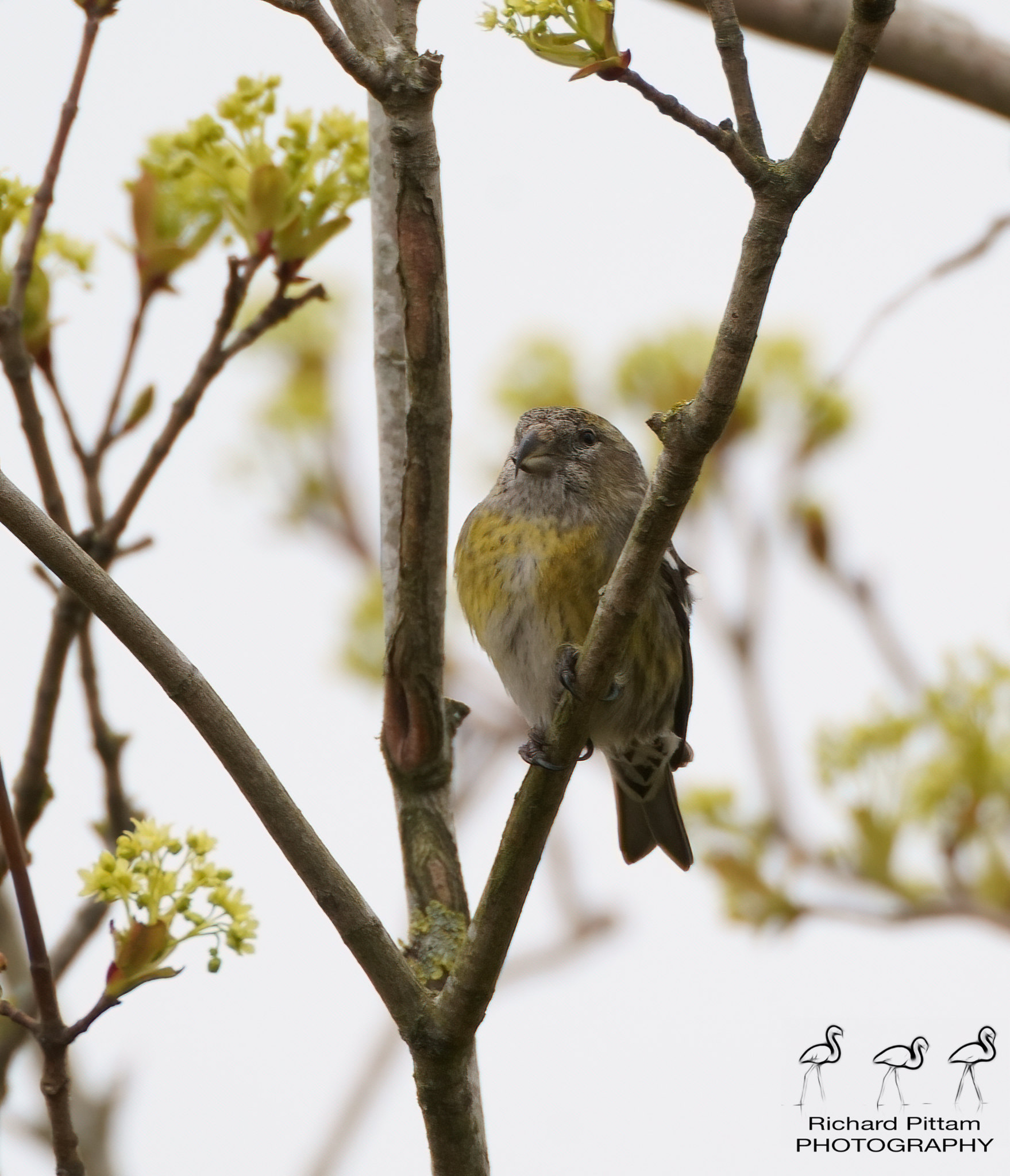 Two-barred Crossbill record shots