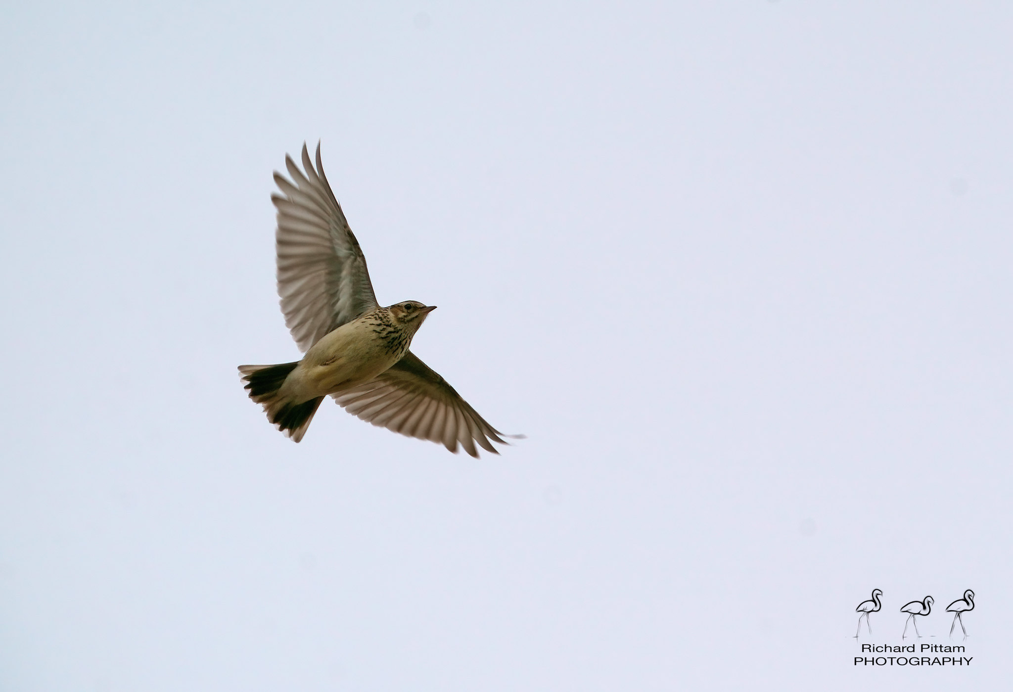 Woodlark record shot