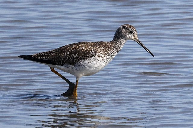 Greater Yellowlegs...IM8A7368A