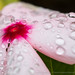 PInk Impatiens and Water Drops, 8.3.17