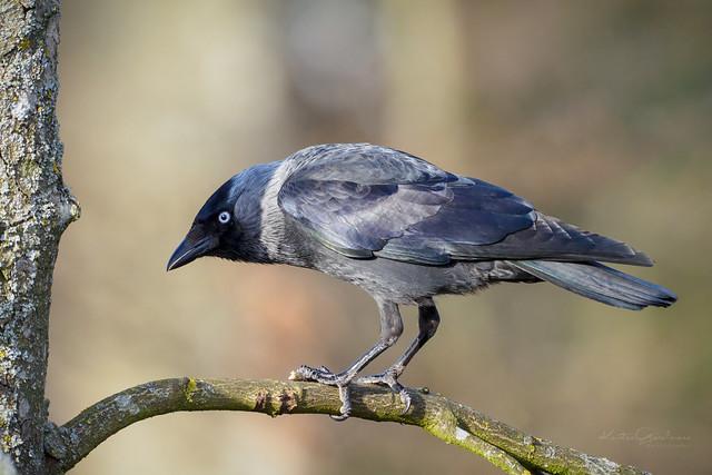 Corvus expression