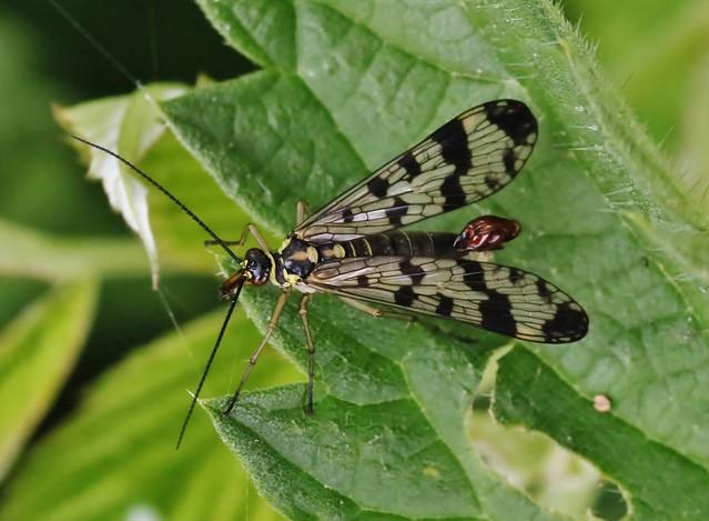 Gemeine Skorpionsfliege (Panorpa communis), Männchen