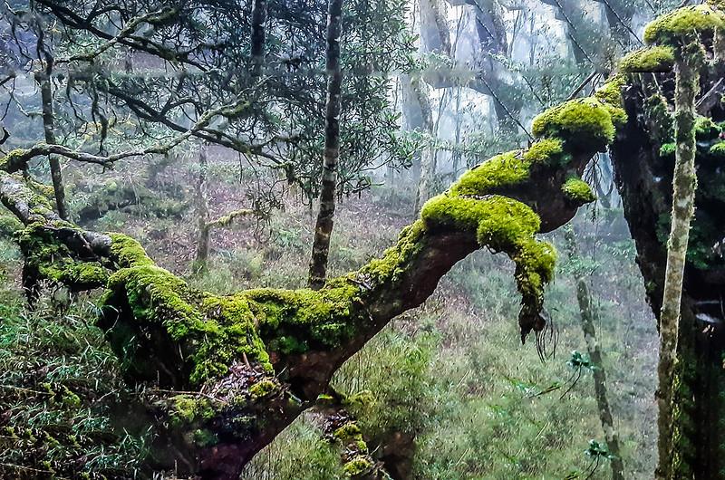 加奈鹿山主稜線杜鵑林 (9)
