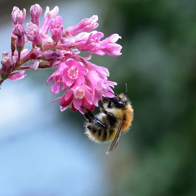 Bombus pascuorum ... Common Carder Bumblebee