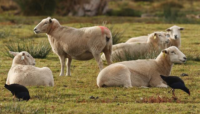 Grazing Pukekos, Resting Sheep