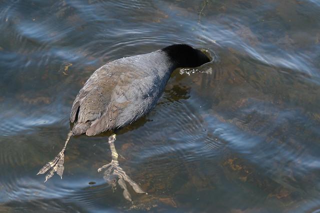 Water Ostrich