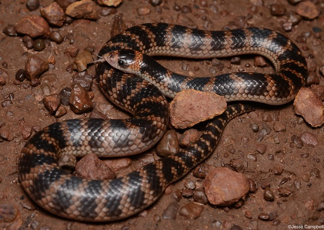 Northern Shovel-nosed Snake (Brachyurophis roperi). Daly Waters, NT