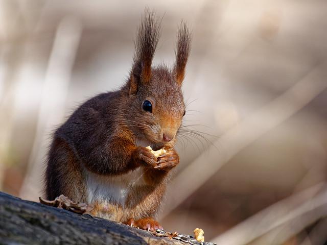 Bokeh Squirrel