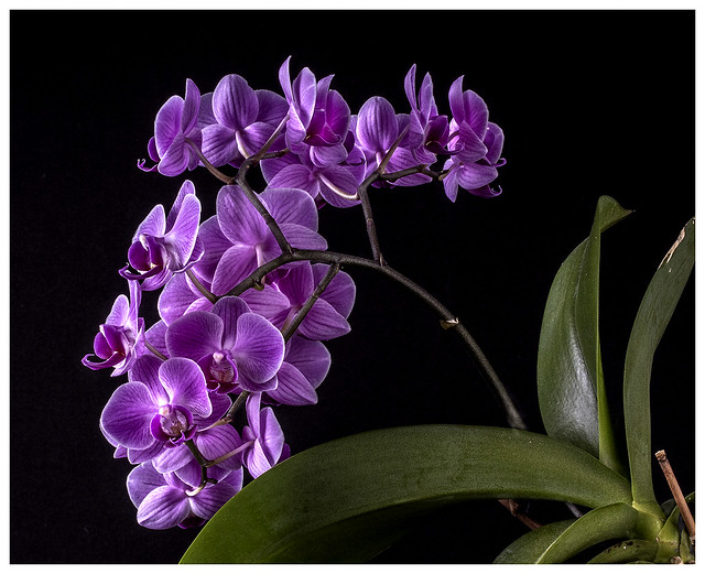 Flowers #39 2021; Purple Orchids