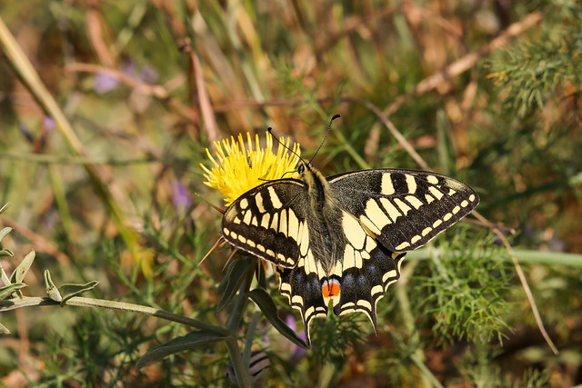 Papilio machaon melitensis