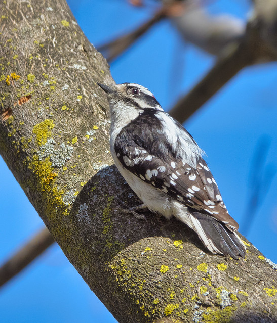 Pic mineur - Downey woodpecker