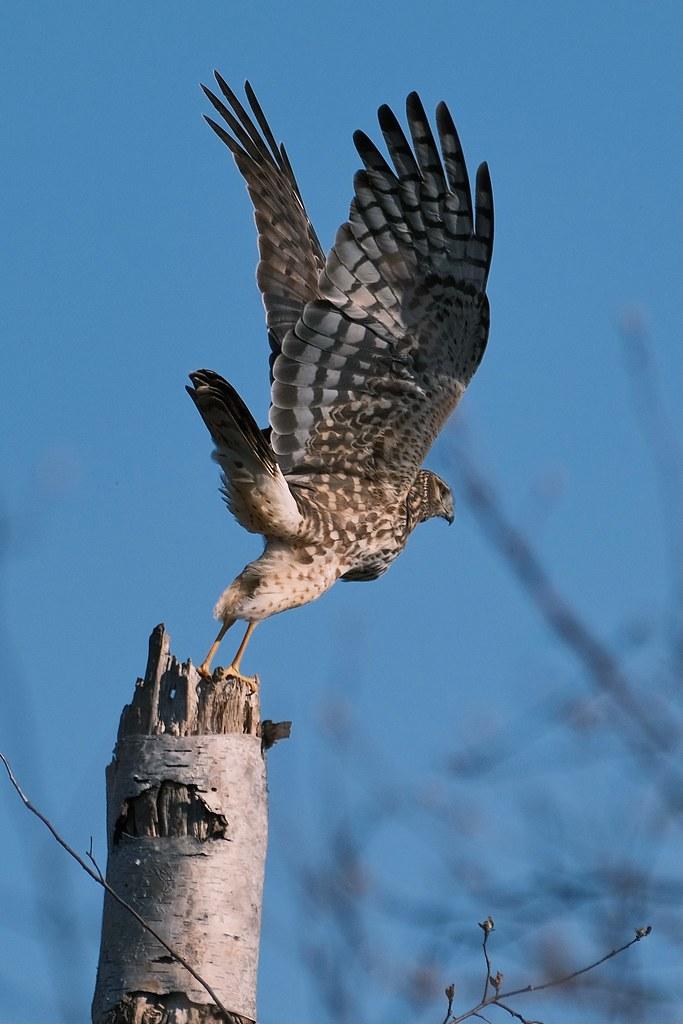 Northern Harrier(?)
