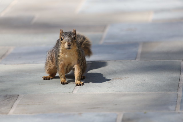 Fox Squirrels in Ann Arbor at the University of Michigan 103/2021 306/P365Year13 4689/P365all-time (April 13, 2021)