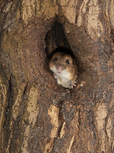 Wild Wood mouse in a log photographed in my garden 9pm tonight.