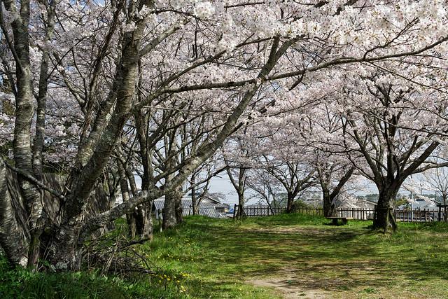 2021 Cherry blossoms 9