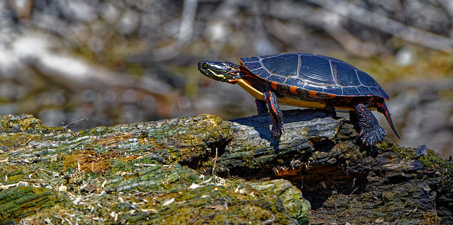 Tortue Peinte -  Painted turtle - Chrysemys picta
