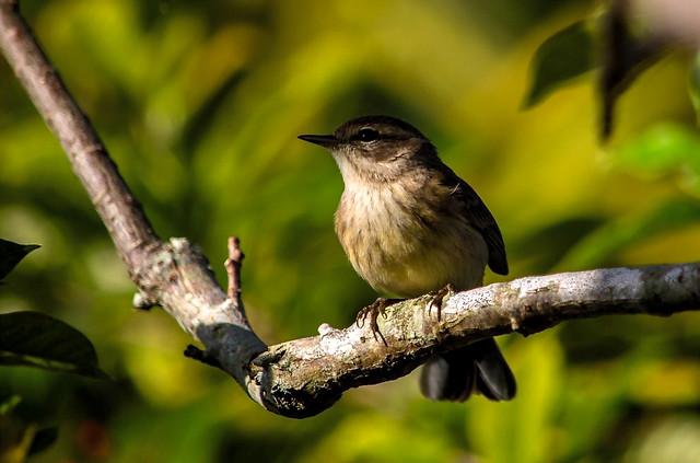 Warbler (1)