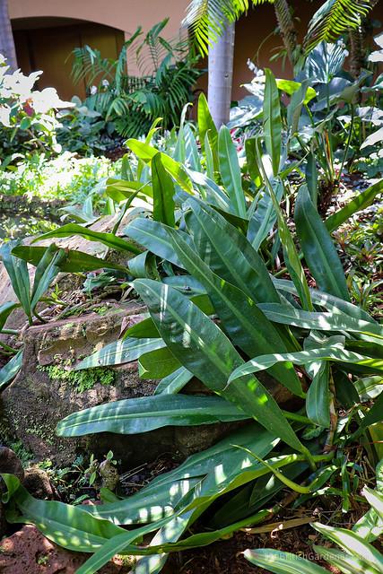 Philodendron maritianum
