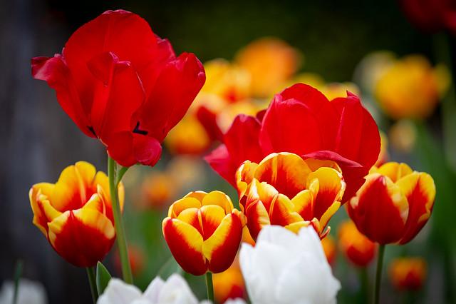 A sea of colorful tulips
