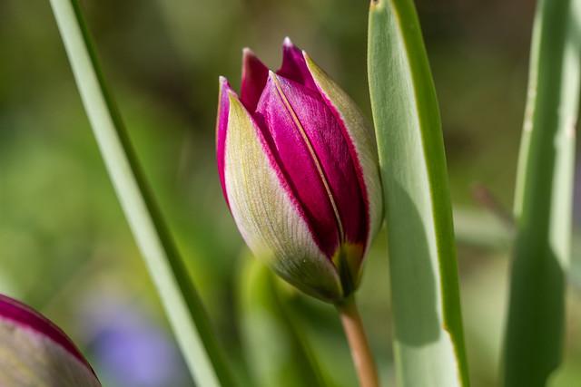 Aufplatzende Zwergtulpenknospe - Bursting dwarf tulip bud