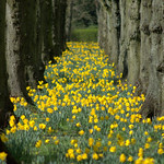 Daffodils at Haslam Park