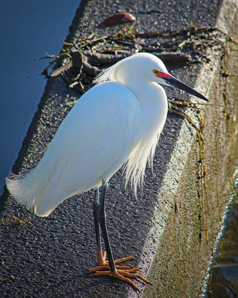2021.03.17 Sweetwater Wetlands Snowy Egret 3