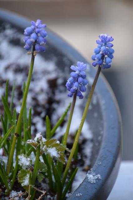 Blauwe druifjes in bak