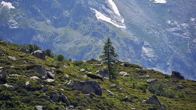 alpine conifer