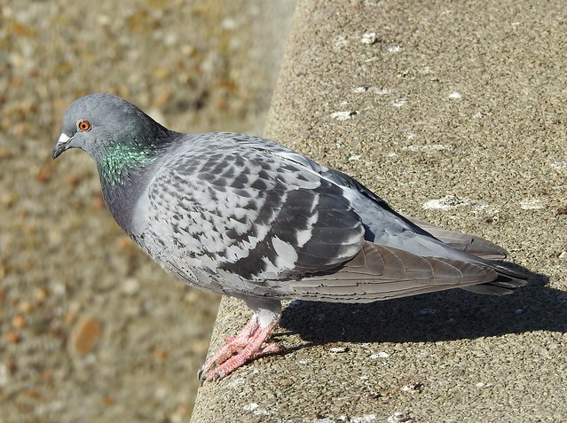 Feral Pigeon - Royal Quays