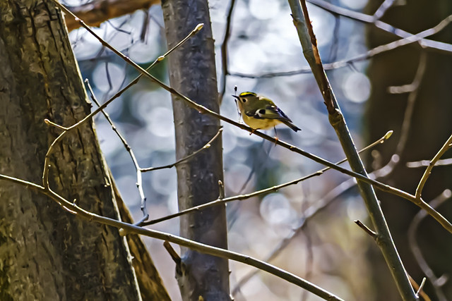 1565.365-104  Woodland Goldcrest