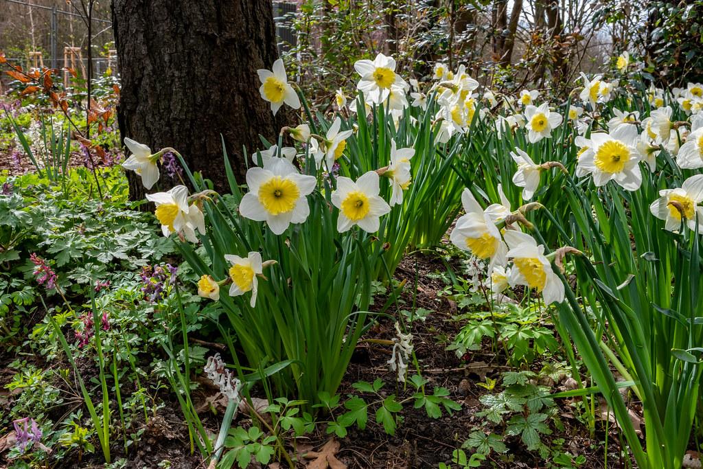 Berlin, Gärten der Welt: Narzissen - Berlin, Gardens of the World: Daffodils