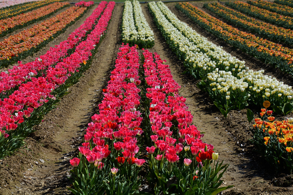 Champs de tulipes France _1997