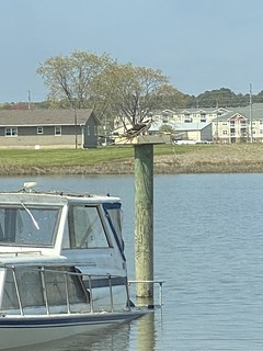 Photo of osprey in nest on platform in the water