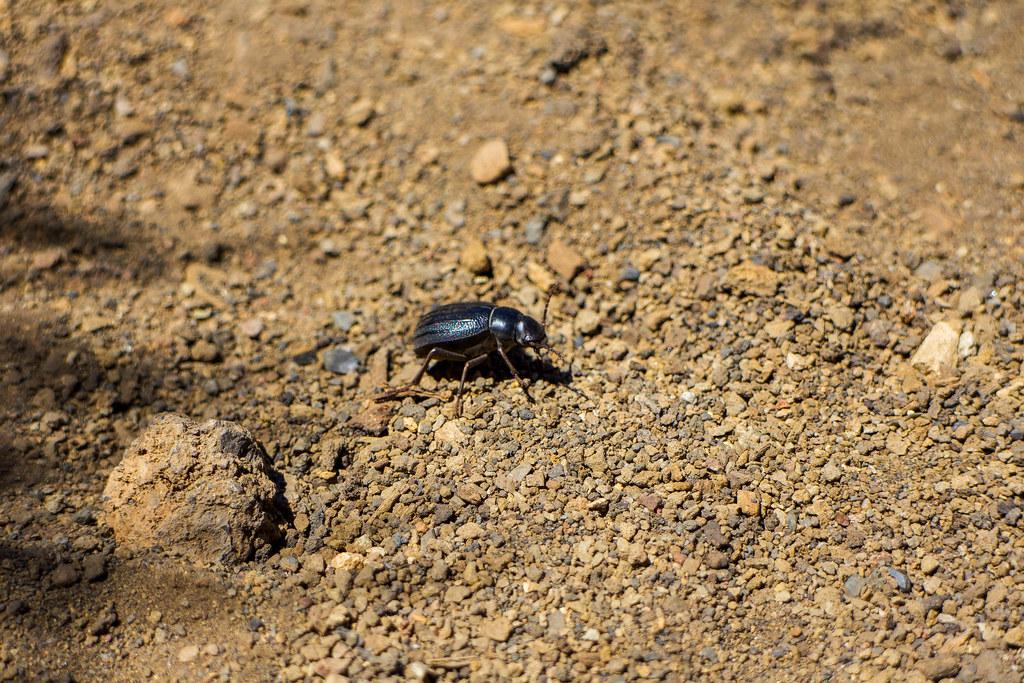 Escarabajo del Teide o Pimelia del Teide
