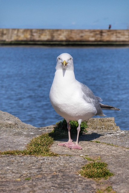 A Whitby Seagull