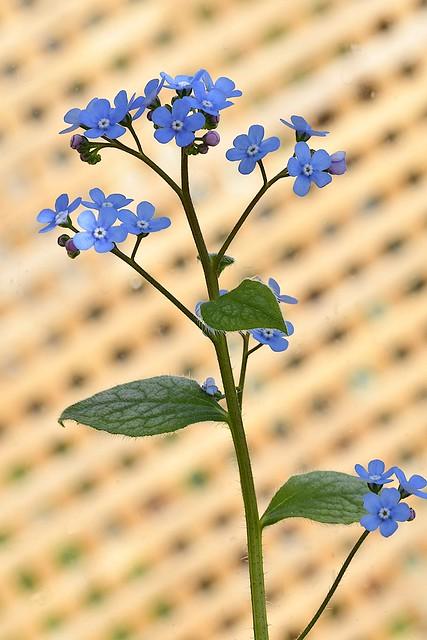 Siberian Bugloss (Brunnera macrophylla)