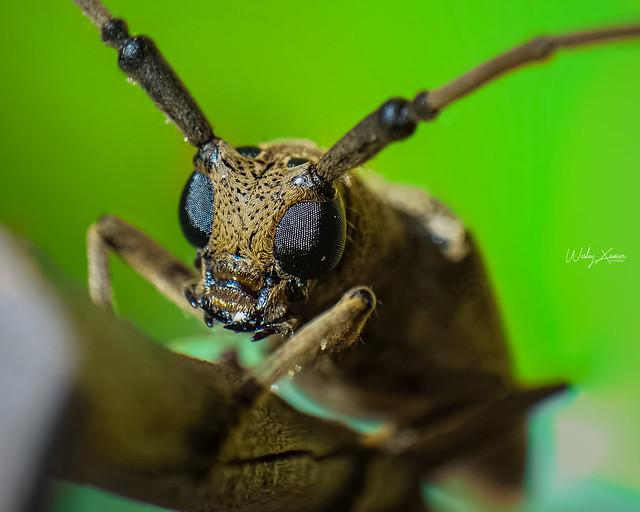 Besouro Cerambycidae
