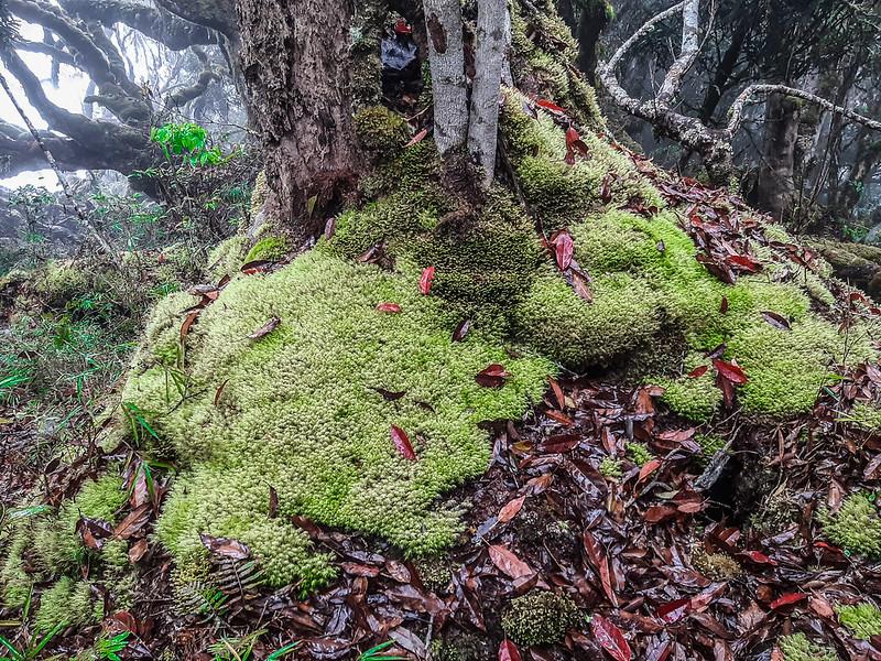 加奈鹿山主稜線杜鵑林 (7)