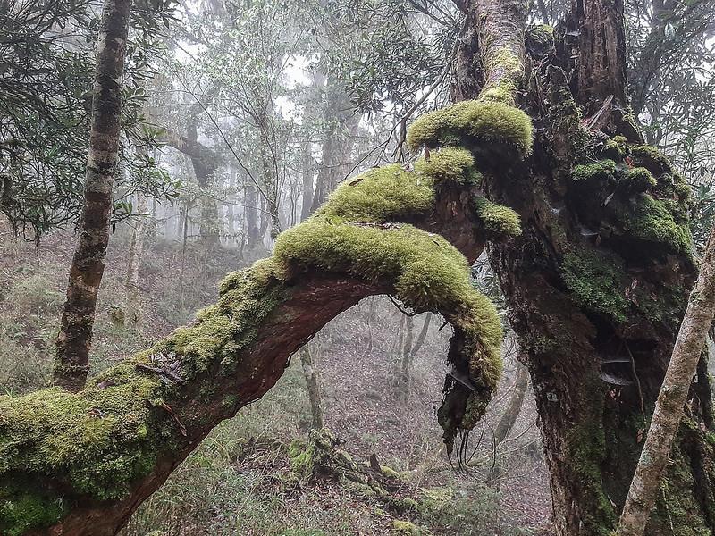 加奈鹿山主稜線杜鵑林 (6)
