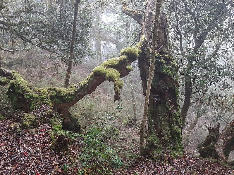 加奈鹿山主稜線杜鵑林 (5)