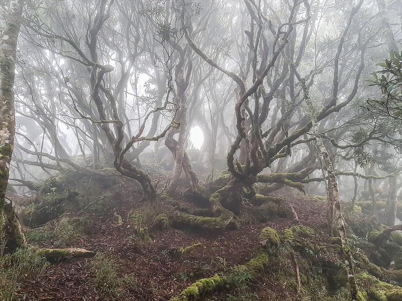 加奈鹿山主稜線杜鵑林 (1)